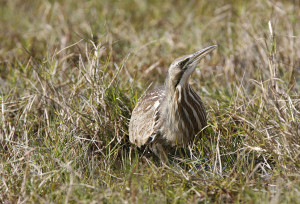 American Bittern in the grass