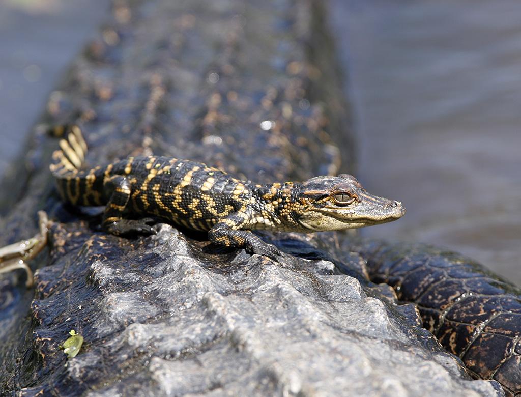 A Big Scary Alligator Downsized To Cute Deartexas