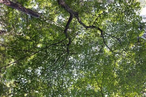 Forest canopy above the Nature Trail