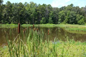Cattails on the edge of Trout Pond