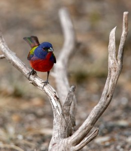 Painted Bunting at South Llano River State Park